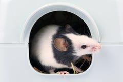 El pequeño ratón que mira fuera de él es agujero Imagen de archivo