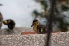 El pequeño salir lindo del pato del agua Foto de archivo libre de regalías