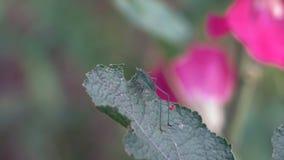 El pequeño saltamontes macro se sienta en una hoja de la flor salvaje en el bosque almacen de video