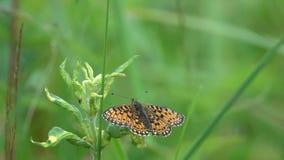 El pequeño selene/Perla-confinado de /Boloria del fritillary de la mariposa va en un vuelo entre la hierba verde, cámara lenta almacen de video