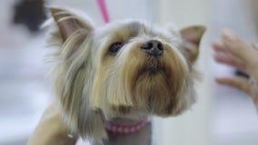 El pequeño terrier de Yorkshire lindo se peinó con un peine del metal en el groomer Corte de pelo y el diseñar animales profesion almacen de video