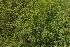 El pequeño verde joven se va en el arbusto en primavera Fotografía de archivo