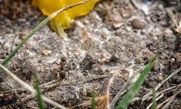 El pequeño viajar de la hormiga Fotografía de archivo