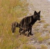 El pequeño zorro lindo Foto de archivo