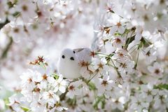 El pequeños pájaro y pajarera en primavera con la cereza del flor florecen s Fotografía de archivo