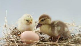 El pequeños pollo y anadón se sienta en la jerarquía cerca del huevo almacen de metraje de vídeo
