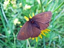El peque?o epiphron o Der Knochs Mohrenfalter Schmetterling de Erebia del rizo de la mariposa o de la monta?a del rizo de la mont fotos de archivo libres de regalías