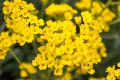 El peque?o primer amarillo de las flores crece en un jard?n al aire libre Primer foto de archivo