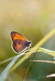 El pequeño brezo, mariposa en hábitat natural y x28; Pamphilus& x29 de Coenonympha; Imagen de archivo