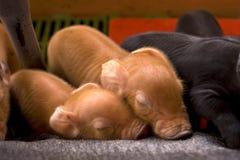el pequeño dormir del cerdo del bebé Foto de archivo libre de regalías