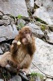 El pequeño mono está comiendo manzanas Fotografía de archivo