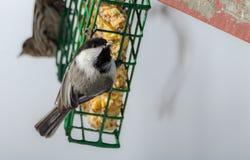 El pequeño negro capsuló el chickadee en un alimentador de la jaula del sebo a principios de marzo Pájaro cantante feliz en un dí Imagen de archivo libre de regalías