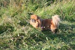 El pequeño perro cría paseos del pekinés en la hierba gruesa y alta Fotografía de archivo