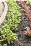 El perejil planta el crecimiento en fila al lado de col roja en jardín imagen de archivo libre de regalías
