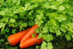 El perejil y la zanahoria adentro graden Fotos de archivo