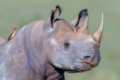 El perfil adulto del rinoceronte negro, rojo cargó en cuenta Oxpecker Imagen de archivo libre de regalías