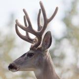 El perfil de los ciervos de mula buck con la cornamenta del terciopelo Fotografía de archivo