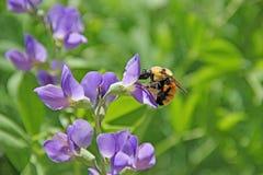 El perfil de manosea el insecto del bombus de la abeja en la flor púrpura Fotografía de archivo