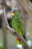 El perfil de un blanco afrontó el loro del Amazonas Imagenes de archivo