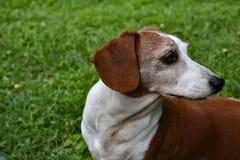 El perfil del doble miniatura Dapple el perro basset Fotografía de archivo