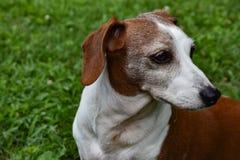 El perfil del doble miniatura Dapple el perro basset Foto de archivo libre de regalías