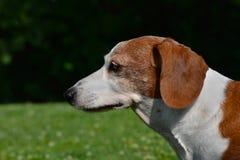 El perfil del doble miniatura Dapple el perro basset Fotos de archivo libres de regalías