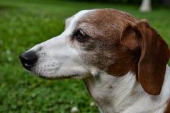 El perfil del doble miniatura Dapple el perro basset Imágenes de archivo libres de regalías