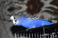 El periquito azul se sienta en su jaula foto de archivo