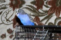 El periquito azul se sienta en su jaula fotografía de archivo libre de regalías