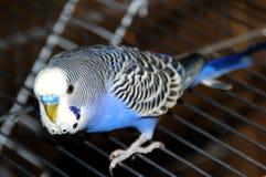 El periquito azul se sienta en su jaula foto de archivo libre de regalías