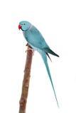 El periquito rosa-anillado o anillo-necked en blanco Fotos de archivo libres de regalías