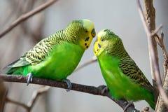 El periquito se sienta en una rama El loro verde-se colorea brillantemente El loro del pájaro es un animal doméstico Loro ondulad fotos de archivo