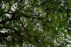El permanecer bajo ramas del tamarindo verde claro de la primavera deja w Foto de archivo