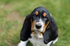 El perrito adorable del perro de afloramiento mira derecho en la lente de cámara Fotografía de archivo libre de regalías