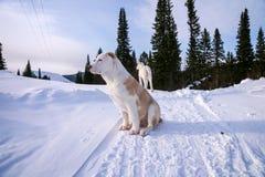El perrito, Alabai masculino, 4 meses, se sienta contra el bosque Fotografía de archivo