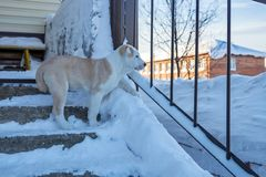 El perrito Alabai se está colocando en el pórtico y está mirando la calle Fotos de archivo