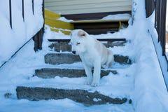 El perrito Alabai se sienta en los pasos y mira abajo Foto de archivo