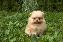 El perrito anaranjado del perro de Pomerania de Pomeranian se está sentando en hierba verde Foto de archivo libre de regalías