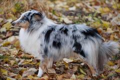 El perrito azul del perro pastor de Shetland del merle se está colocando en el follaje del otoño Collie o sheltie de Shetland Ani imagen de archivo libre de regalías
