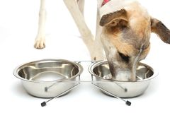 El perrito bebe el agua de un cuenco Imagenes de archivo