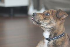 El perrito berrendo se lame Imagen de archivo libre de regalías