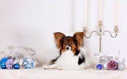 El perrito blanco lindo del Papillon miente con las decoraciones de la Navidad Imagenes de archivo
