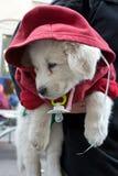 El perrito blanco se vistió en una chaqueta roja con un capo motor. Fotografía de archivo libre de regalías
