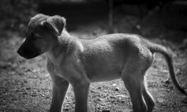 El perrito comió muy bien y ahora tiene un vientre grande monocrom?tico imagen de archivo