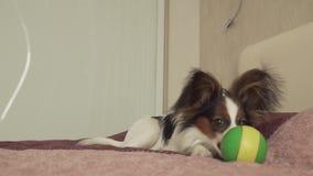 El perrito continental de Papillon Toy Spaniel juega divertido con vídeo de la cantidad de la acción de la bola almacen de metraje de vídeo