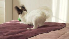 El perrito continental de Papillon Toy Spaniel juega divertido con vídeo de la cantidad de la acción de la bola metrajes