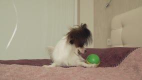 El perrito continental de Papillon Toy Spaniel juega divertido con vídeo de la cantidad de la acción de la bola almacen de video