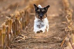 El perrito cortado de Jack Russell está compitiendo con sobre un campo de maíz en otoño foto de archivo