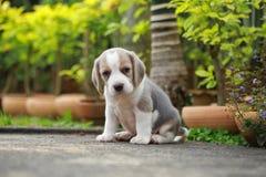 El perrito criado en línea pura del beagle está aprendiendo el mundo Imagen de archivo