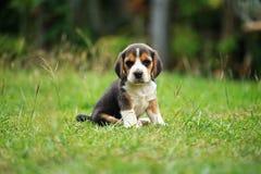 El perrito criado en línea pura del beagle está aprendiendo el mundo Imagenes de archivo